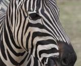 Equus quagga chapmanni