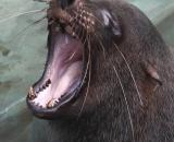 Callorhinus ursinus