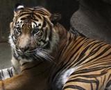 Panthera tigris sumatrae