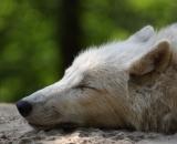 Canis lupus arctos