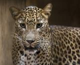 Panthera pardus kotiya