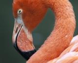 Phoenicopterus ruber ruber