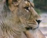Panthera leo persica