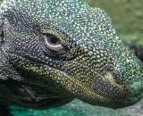 Varanus salvadorii