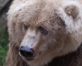Ursus arctos middendorffi