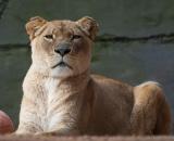 Panthera leo krugeri