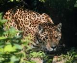 Panthera pardus ssp. orientalis